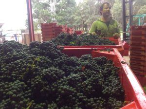Last of the Cabernet coming in
